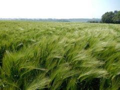 03-Barley-fields.JPG
