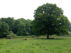 03-Cattle-by-the-Great-Mead-ponds-Selborne.JPG