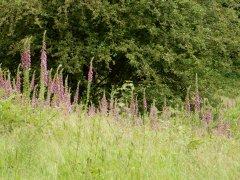13-Stand-of-foxgloves-near-Lane-Copse-Hawkley-Hurst.JPG
