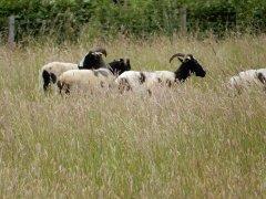 15-Horned-sheep-at-Empshott-Green.JPG