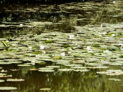 07-Upper-North-Pond-waterlillies-Shillinglee.JPG